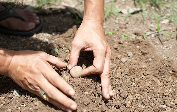 家里种土豆的种植方法 马铃薯栽培技术 3