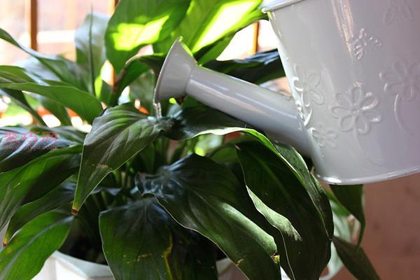 室内植物日常养殖方法 室内盆栽如何护理  5