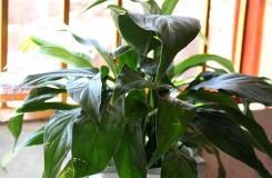 室内植物日常养殖方法 室内盆栽如何护理