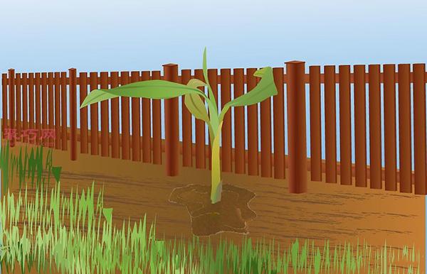香蕉种植技术 教你家里怎么种植香蕉 5