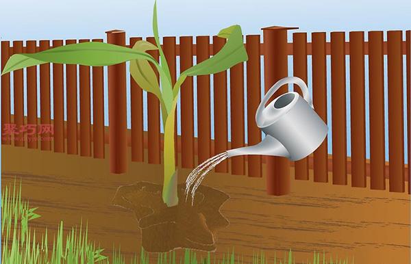 香蕉种植技术 教你家里怎么种植香蕉 6