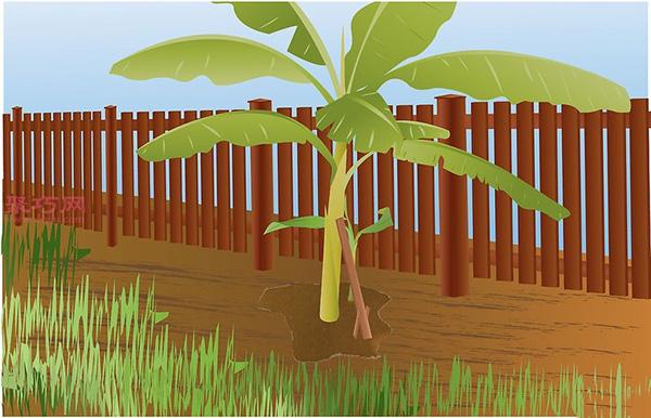 香蕉种植技术 教你家里怎么种植香蕉 10