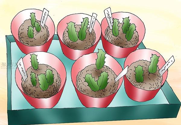 多肉圣诞仙人掌的养殖办法 怎么养圣诞仙人掌 7