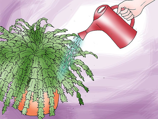 多肉圣诞仙人掌的养殖办法 怎么养圣诞仙人掌 3