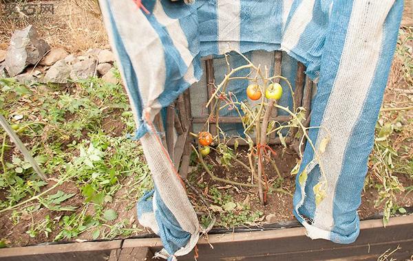 番茄怎么采摘 番茄采摘时必须注意的问题