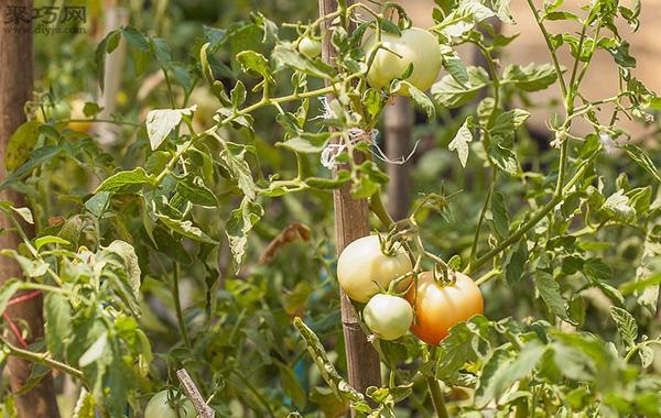 番茄怎么采摘 番茄采摘时必须注意的问题 2