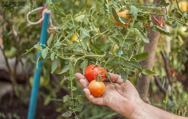 番茄怎么采摘 番茄采摘时必须注意的问题 4