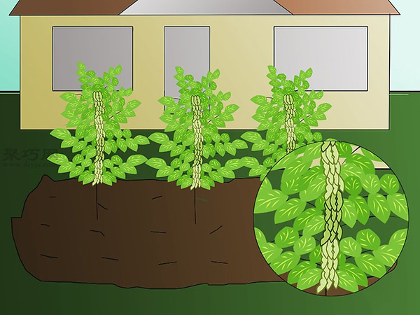 栽种大豆技术 庭院如何种植大豆 7