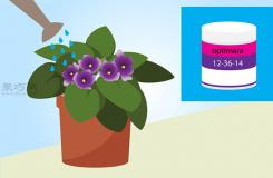 非洲堇的养殖方法 盆栽非洲堇怎么养