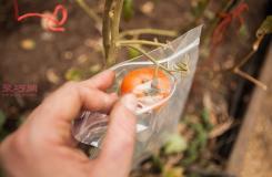 �N植番茄教程�D解 怎�臃N植番茄