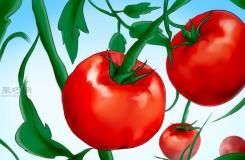 用�N子�N植番茄步�E 怎么�佑梅N子�N植番茄
