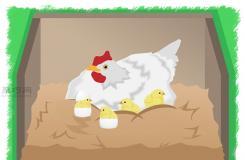 怎樣使用抱窩母雞孵小雞 一起學孵化雞蛋步驟