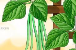 怎樣種植豆類和豌豆 種植豆類和豌豆圖片教程