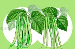 怎么樣種植豆類 種植豆類和豌豆教程圖解