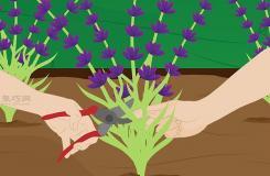 怎么養護薰衣草 來看種植薰衣草教程