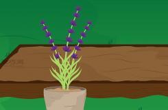 如何種植薰衣草 教你種植薰衣草的方法