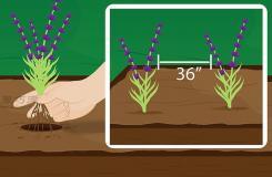 怎樣種植薰衣草 一起學種植薰衣草步驟