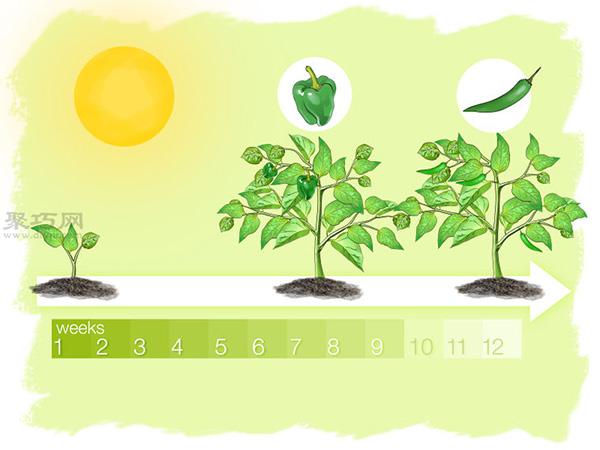 怎么样播种种植辣椒 5