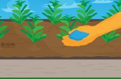 種植菠菜方法 怎么種植菠菜