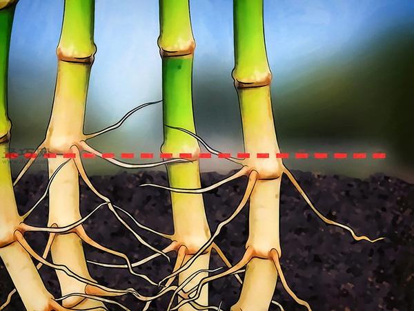 怎么樣根除竹子 1