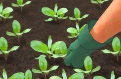 怎樣種植蘿卜 種植蘿卜教程圖解