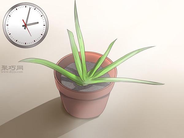 怎么种植或移植芦荟 2