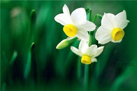 不同水仙花的花语是什么?水仙花花语大全