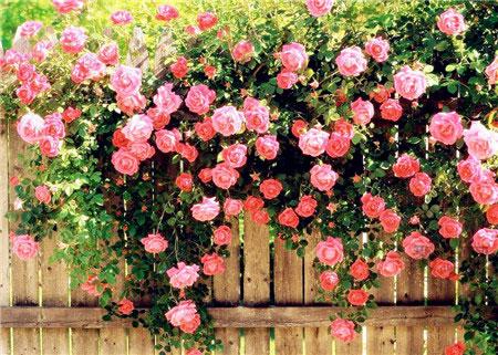 蔷薇花语是什么?不正色蔷薇花花语父亲全