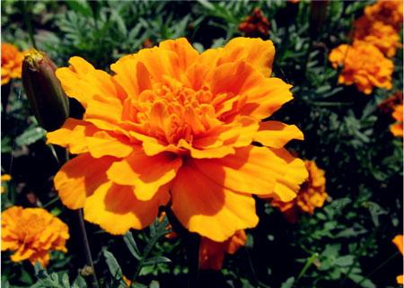黄色康乃馨花语:感激母亲之情