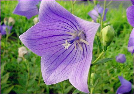 桔梗花的花语是什么?桔梗花的传说松读桔梗花花语