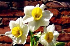 水仙花有毒吗?室内养水仙花应该注意什么?
