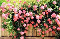 薔薇花語是什么?不同顏色薔薇花花語大全