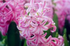 风信子花语大全 各种颜色风信子的花语是什么?
