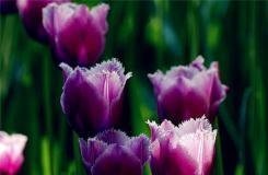 郁金香花语是什么?紫郁金香代表什么含义?
