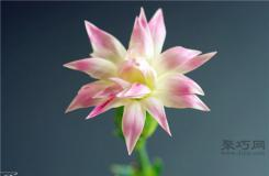 白色康乃馨花語:純潔的友誼