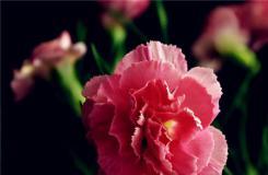 不同颜色康乃馨花语 康乃馨代表什么意思?