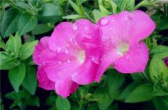 牵牛花什么时候开花?牵牛花花语是什么?