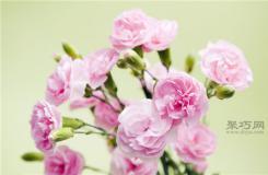 紅康乃馨花語:祝母親健康長壽