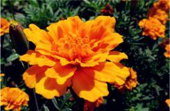 黃色康乃馨花語:感激母親之情