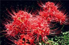彼岸花图片欣赏 彼岸花花语是什么?