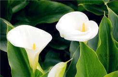海芋花花語是什么?海芋花和馬蹄蓮是不是一樣