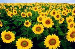 太阳花花语是什么?太阳花象征意义