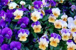 三色堇的花�Z是什么?�P于三色堇的神�故事