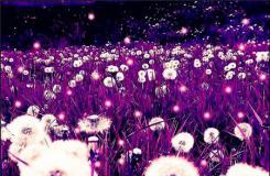紫色蒲公英的花�Z是什么?各�N�色蒲公英的花�Z