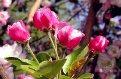 海棠花有多少品种?海棠花种类大全