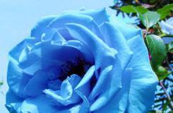 藍色妖姬的花語是什么?單枝|7枝藍色妖姬代表什么意思?