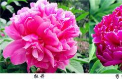 芍药和牡丹的区别 八个方面区别牡丹和芍药