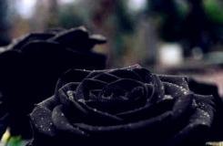 黑玫瑰花语是什么?黑玫瑰多少钱一支?