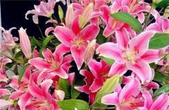 一朵百合花代表什么意思?百合花送�锥浜�