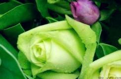 綠玫瑰花語是什么?綠玫瑰是什么含義?